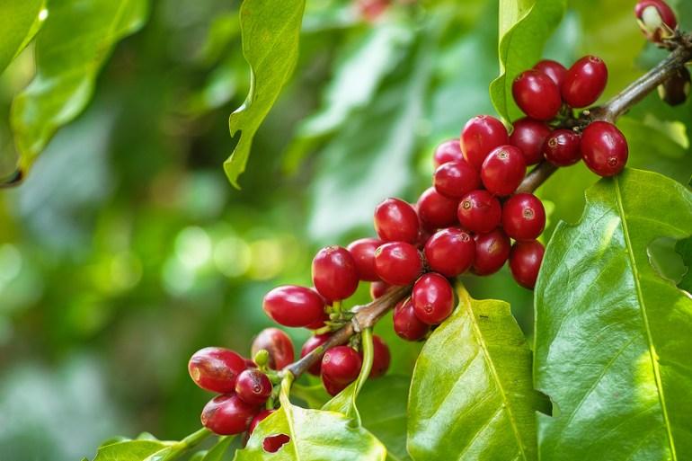 cafe_robusta_