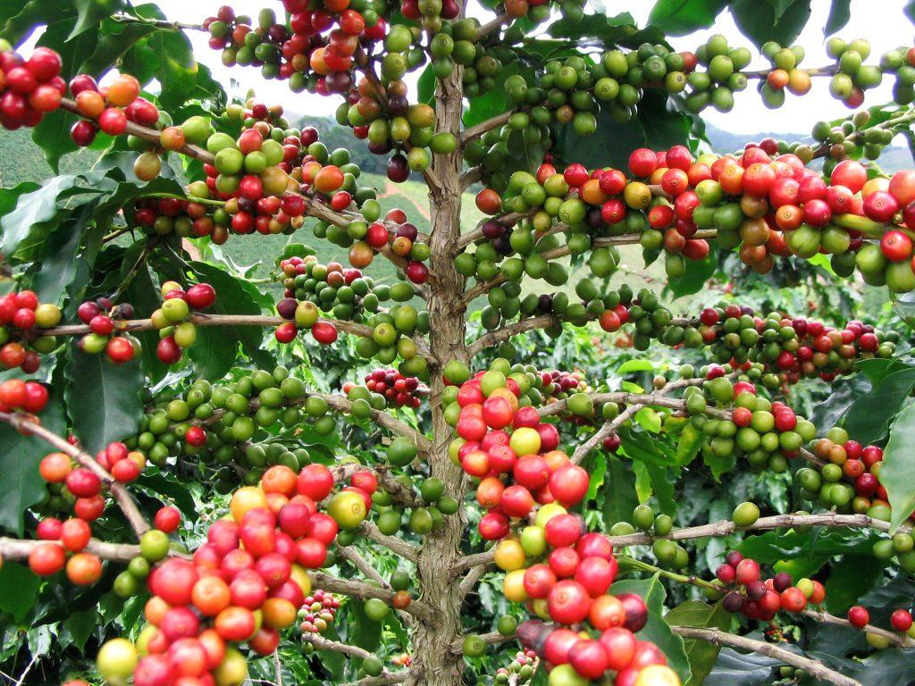 Fábrica de café